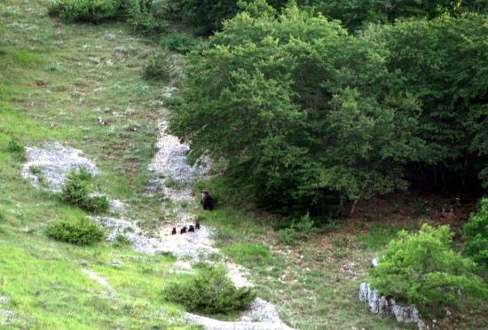 Parco Nazionale d'Abruzzo, orso marsicano, mamma con 4 cuccioli