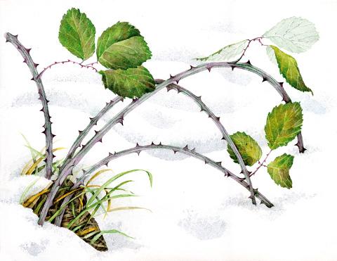Roberta Ferraris - Rovo nella neve
